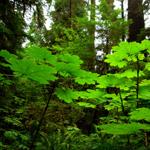 Lightbox broad leaf forest