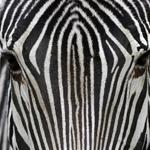 Leuchtkasten Zebras